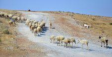 Free Sheep Royalty Free Stock Photos - 20467048