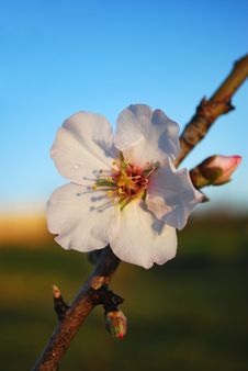 Free Flower Of An Almond Tree Stock Photos - 20467213
