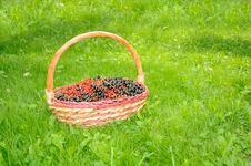 Free Basket With Black And Red Currants On Green Lawn Stock Image - 20468231
