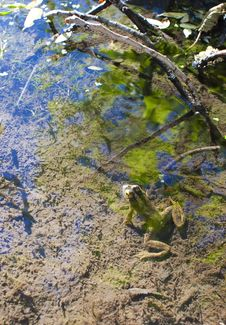 Free Frog In Pond With Plants Royalty Free Stock Image - 20468496