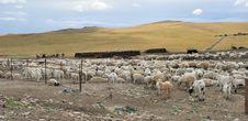 Free Sheep Stock Photos - 20468883