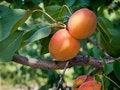 Free Ripe Apricots Stock Photo - 20470160