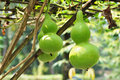 Free Green Bottle Squash Tree In The Garden Royalty Free Stock Photography - 20471097