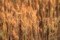 Free Fields Of Wheat Stock Photo - 20476480