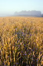 Free Crop Field And Morning Mist Stock Photography - 20478272