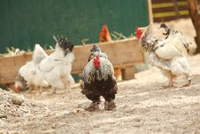 Rooster With Group Of Hens Royalty Free Stock Photography