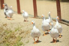 Free Wild Goose Chase Stock Photos - 20470033