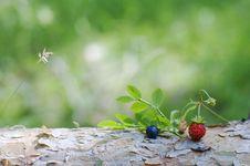Free Wild Berries Royalty Free Stock Photos - 20470348