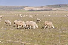 Free Flock Of Sheep Royalty Free Stock Photos - 20470358