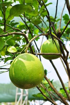 Free Giant Green Orange Fruit Tree In The Garden Stock Image - 20471201