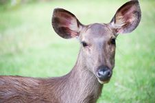 Free Whitetail Doe Portrait. Stock Photo - 20471430