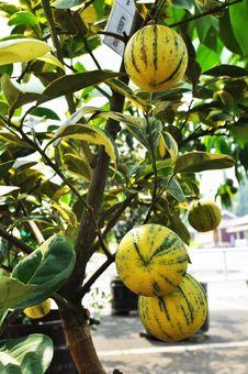 Yellow Zebra Orange Fruit Tree Royalty Free Stock Images