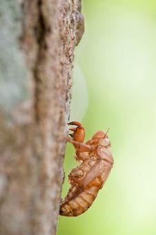 Cicada Shells Royalty Free Stock Photo