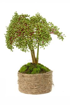 Free Bonsai Isolated On White Royalty Free Stock Photo - 20474175