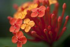 Free Lxora Chinensis Royalty Free Stock Photo - 20475595