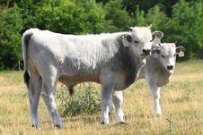 Free Hungarian Grey Cattle Stock Photo - 20476530