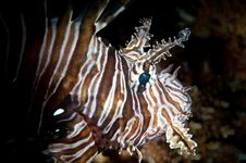Free Head Of A Lion Fish Stock Image - 20477581