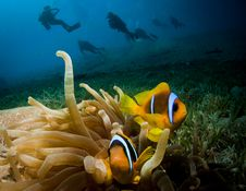 Free Anemone Fish And Scuba Divers Stock Image - 20477971