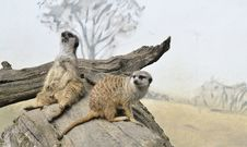 Free Two Meerkats Royalty Free Stock Image - 20477976