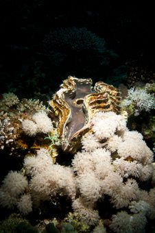 Free Giant Clam Royalty Free Stock Image - 20478736
