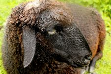 Free Black Sheep Stock Photo - 20479510