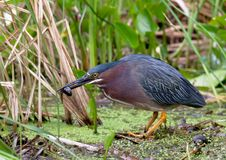 Free Green Heron Catching Tadpole Stock Image - 20479801