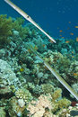 Free Two Cornet Fish In Underwater Coral Reef Stock Images - 20480014