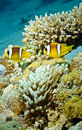 Free TwoAnemone Fish In Underwater Coral Reef Stock Image - 20480081