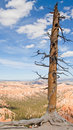 Free Lonely Tree At Bryce Canyon Royalty Free Stock Images - 20481209