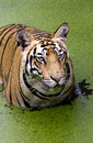Free Angry Look Of A Royal Bengal Tiger Stock Photo - 20484030