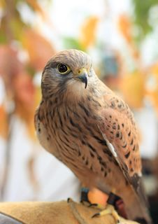 Free Kestrel Portrait Royalty Free Stock Image - 20480316