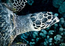 Free Sea Turtle Royalty Free Stock Image - 20480326