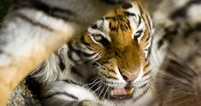 Free Tiger Close Up Stock Image - 20480951