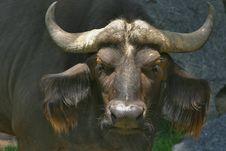 Free Cape Buffalo Royalty Free Stock Photos - 20482768