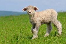 Free Very Young Lamb Royalty Free Stock Images - 20483429