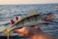 Fish In Hand Fisherman Royalty Free Stock Images
