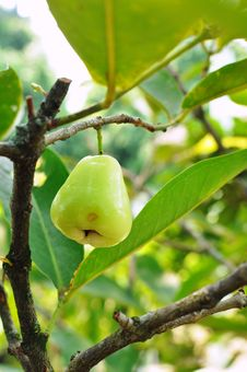 Free Green Rose Apple Tree Royalty Free Stock Photos - 20484808
