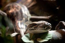 Free Python Stock Image - 20485001