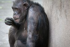 Free Chimpanzee Royalty Free Stock Images - 20485009