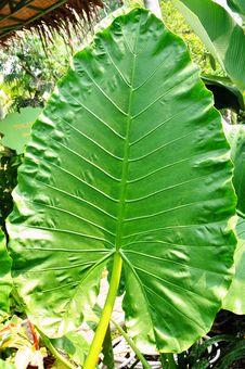 Free Green Giant Leaf Stock Photo - 20486730