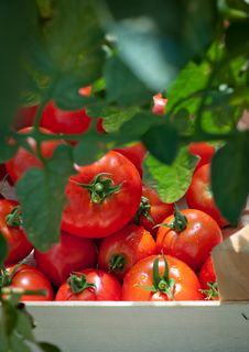 Free Picking Tomatoes Stock Images - 20487344