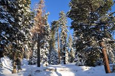 Free Winter Forest Royalty Free Stock Photos - 20487918