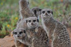 Free Meerkats Stock Images - 20488204