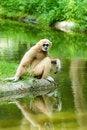 Free Monkey Royalty Free Stock Photos - 20496108