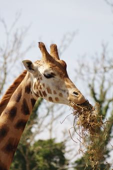 Free Giraffe Eating Royalty Free Stock Image - 20492556