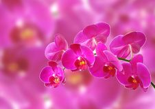 Free Pink Orchid Stock Image - 20494001