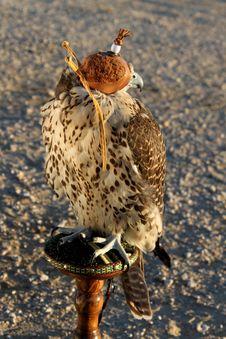 Free Falcon Stock Photos - 20494123