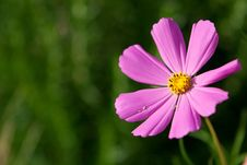 Free Pink Cosmos Flower Royalty Free Stock Photo - 20494985