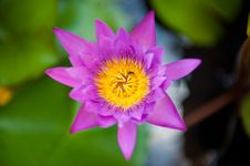 Free Purple Asian Flower Royalty Free Stock Images - 20495519
