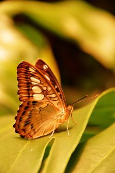 Free The Brown Clipper Butterfly Royalty Free Stock Photography - 20495597